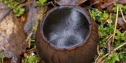 Латвійські вчені виявили гриб з унікальними лікувальними властивостями