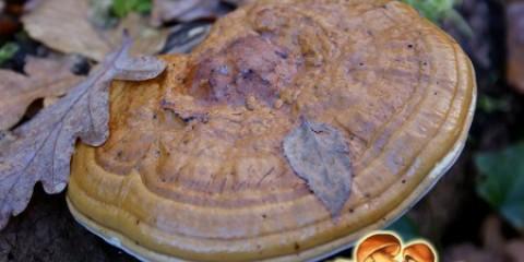 Потужний руйнівник деревини: характеристика трутовика плоского