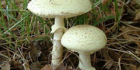 Мухомор поганковідний (amanita citrina)