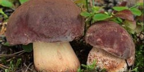 На Луганщині експерти закликають грибників проявляти обережність під час «тихого полювання»