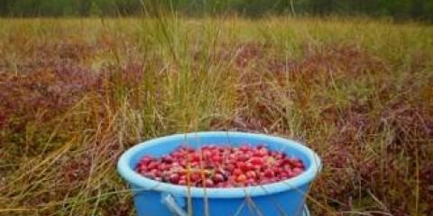 Облвиконкоми визначили терміни збирання ягід в білоруських лісах