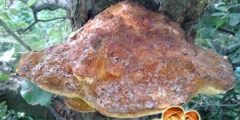 Небезпечне захворювання дерев: шкода щетіністоволосого трутовика