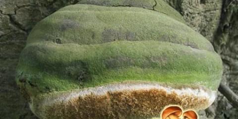 Паразит хвойних дерев: трутовик Гартіга
