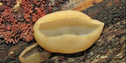 Пеціца мінлива (peziza varia)