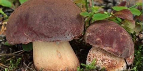 Перші гриби вже з'явилися на трасах Томська