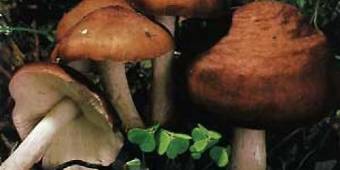 Плютей бурий (pluteus cervinus)