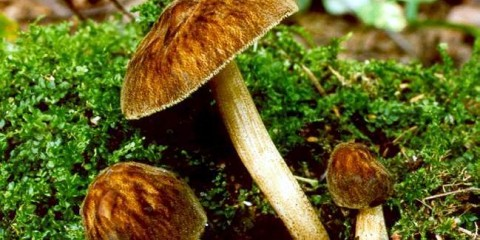 Плюти умбрових (pluteus umbrosus)