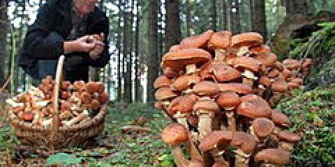 Під Волгоградом пройде чемпіонат зі збору грибів