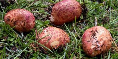 Різопогон рожевий (rhizopogon roseolus)