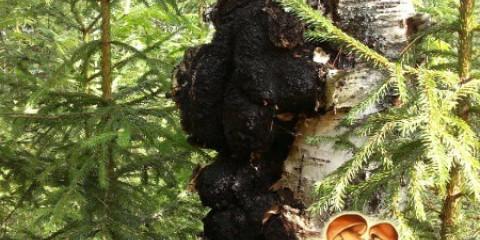 Найкорисніший деревний гриб: застосування чаги в народній і традиційній медицині