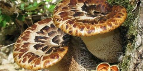 Широко поширений деревний гриб: характеристика трутовика лускатого