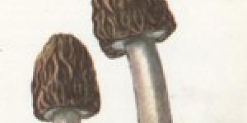 Сморчковая шапочка