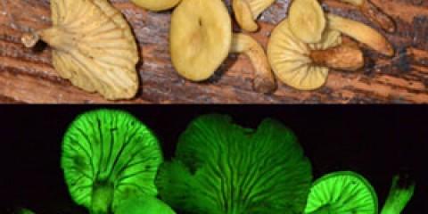 Світяться в темряві гриби заново виявлені через 170 років