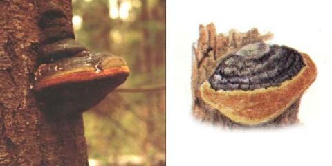 Трутовик Гартіга (phellinus hartigii)