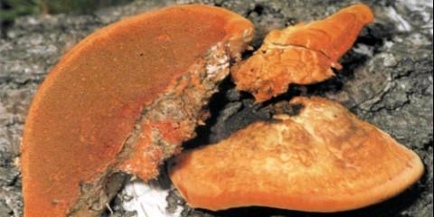 Трутовик киноварно-червоний (pycnoporus cinnabarinus)