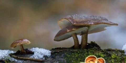 Трутовик зимовий - абсолютно позбавлений смаку, але придатний в їжу гриб