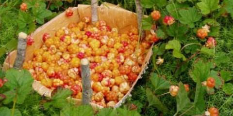 В Білоярське районі - великий урожай морошки