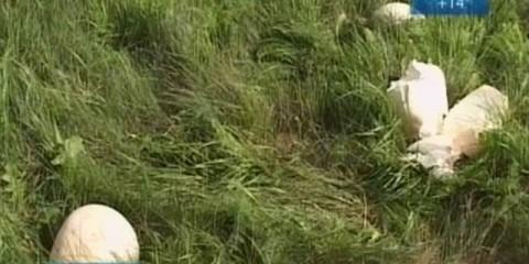 У братських на газоні виросли гігантські дощовики