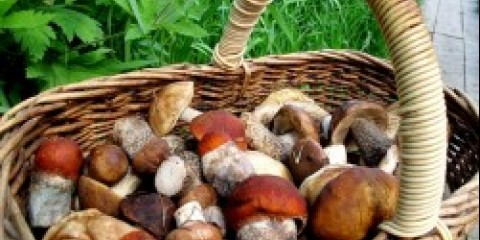 У носовібірскіх лісах вродило багато грибів і ягід