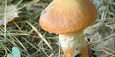 У уральських лісах з'явилися перші їстівні гриби