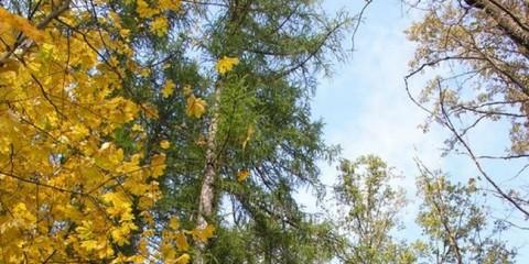 У Воронежі на місці вигорілого лісів посадять модрини