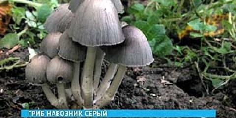 У воронезькому лісі з'явився рідкісний вид грибів - гнойовики