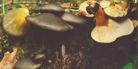 Глива осіння (panellus serotinus)