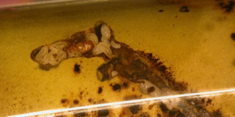 Жучки-грибівники виявилися самими соціальними комахами